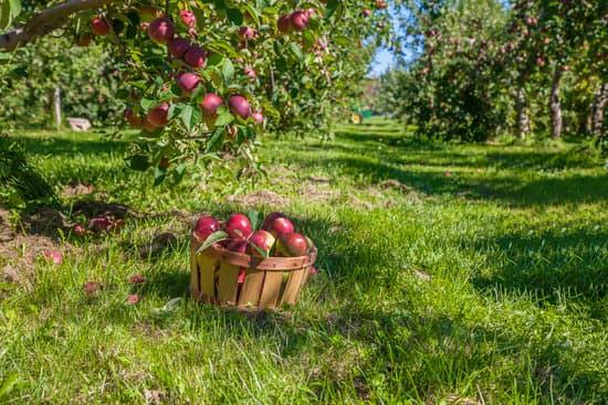 Harvesting apples.